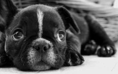 Собака бостон терьер