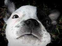 Купить щенка бостон терьера