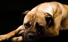 Собака бульмастиф