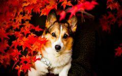 Порода собак вельш корги пемброк