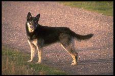 Собаки восточно европейская овчарка