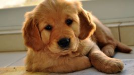 Голден ретривер щенки фото