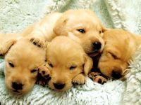 Голден ретривер щенки купить