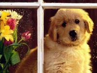 Золотистый ретривер цена щенка