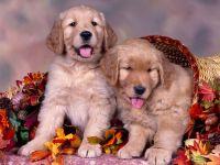Сколько стоит щенок золотистого ретривера?