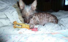 Мексиканская голая щенок