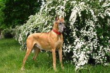 Порода собак дог