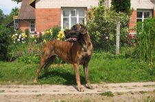 Собака немецкий дог