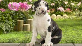 Куплю щенка немецкого дога фото