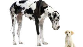 Немецкий дог и щенок
