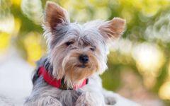 Клички для собак йорков