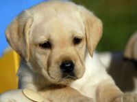 Продажа собак лабрадор