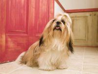 Порода собак лхасский апсо