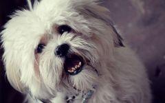 Собака лхаса апсо