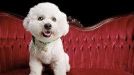 Собака бишон фризе