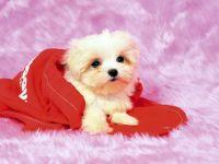 Маленький щенок лхаса апсо