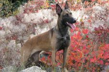 Малинуа бельгийская овчарка