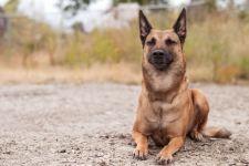 Порода собак малинуа