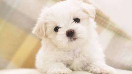 Мальтийская болонка щенок