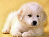Маремма щенки