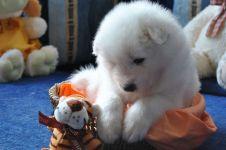 Маремма цена щенка