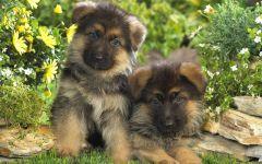 Куплю щенка немецкой овчарки