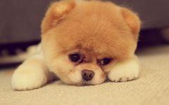 Собака померанский шпиц
