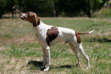 Пойнтер собака