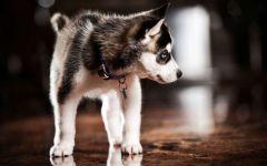 Аляскинский кли кай щенки