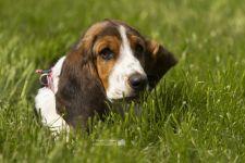 Купить собаку бассет