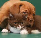 Щенок бордосского дога и котенок
