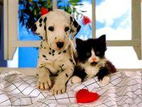 Щенок далматинца и черно-белый котенок