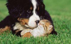Щенок зенненхунда и маленький котенок