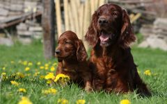 Порода собак сеттер ирландский