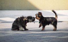Йоркширский терьер знакомится с собакой