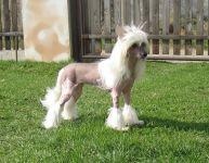 Китайская голая собака