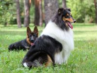Колли и немецкая овчарка