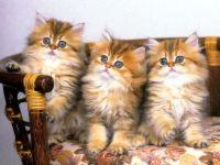 Голубоглазые котята, фото обои для рабочего стола,