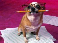 Чихуахуа в очках, фото обои для рабочего стола,
