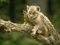Котенок рыси