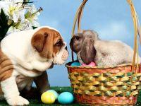 Английский бульдог и кролик, фото обои для рабочего стола, смешная