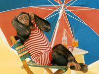 Шимпанзе шимпандзе под пляжным зонтом