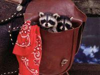 Еноты в сумке, фото обои для рабочего стола, фотография