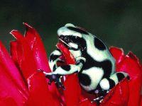 Древолаз Красящий (Dendrobates auratus),