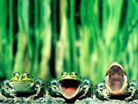 Поющие лягушки