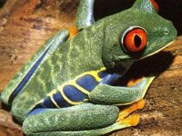 Красноглазая Квакша (Agalychnis callidryas)