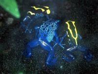 Голубые древолазы (Dendrobates azureus)