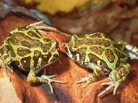 Рогатые жабы, или лягушки