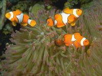 Клоун оцеллярис (Amphiprion ocellaris)