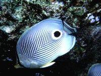 Четырёхглазая рыба-бабочка (Chaetodon capistratus),